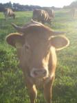 Kuh auf der Weide - Cow