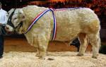 Taureau charolais - Male Cow (1 year)