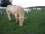 c'est un taureau charolais est il s'appelle Diego - Male Cow (3 years)