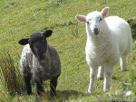 Cardigan and Lovelace - Sheep (5 years)