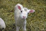 Lambchop - Male Sheep (1 year)