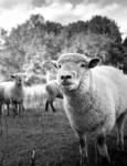 Bolita de lana - Sheep (3 years)