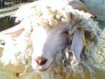 Magic - Sheep (10 years)