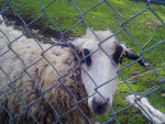 lola - Sheep (3 years)