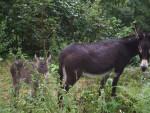 Les ânes du Pilat - Donkey