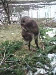 Ânon - Male Donkey (3 months)