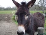 Prosper le meilleure - Male Donkey (15 years)