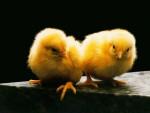 Sora y Lua - Chicken (2 months)