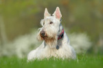 Un Scottish Terrier blanc allongé dans l'herbe