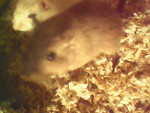 Hollywood Mon Ange - Male Gerbil (2 years)