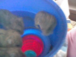 Roo, Smooch, Rou, and Roo Roo Tickle - Male Hamster