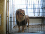 ? - Male Lion (5 years)